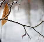 Beach Leaf and Branch in Ice Storm