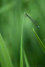 Blue Tailed Damselfly, Vermont