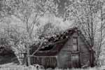 Old Barn, Spring Poplars, New Hampshire