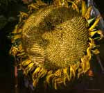 Sunflower Head, VT