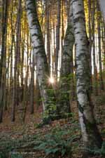 Sun Through Birches and Distant Gold Foliage