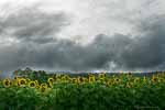 Birds and Clouds Over  Sunflower Field