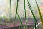 Cattails, Spiderwebs, Fall Birches