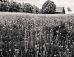 Dandelions Gone to Seed, Barn, Hartland VT 2014