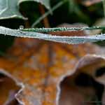Frozen Dewdrop, Frost, Gold Maple Leaf, 2008