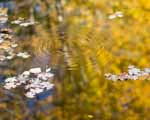 Apple, Leaves, and Ripples, Golden Reflections