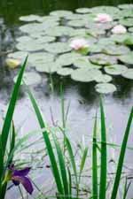 Japanese Iris and Waterlilies After Rain