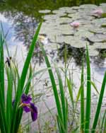 Japanese Iris and Waterlilies After Rain, Sunshine