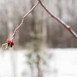 Rose Hips in Ice Storm