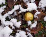 Windfall Yellow Apple and New Snow, Vermont